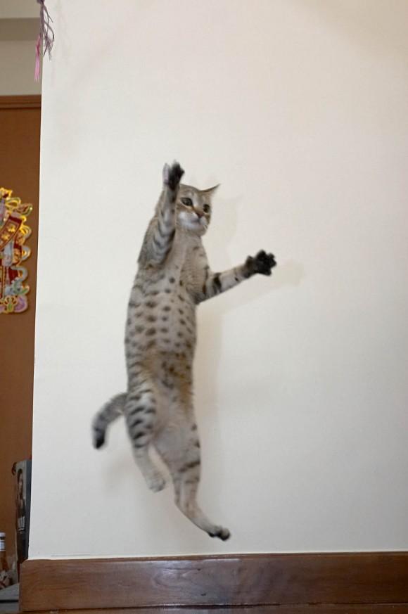 Gato ejercitandose
